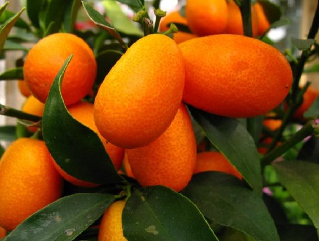 Корфу апельсин кумкват